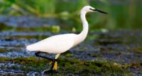 egreta